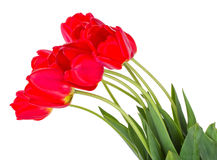 Red tulips bouquet Royalty Free Stock Photography
