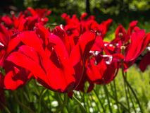 Red tulips in bright sunlight Royalty Free Stock Images
