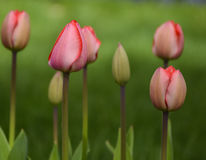 Red Tulips Budding Stock Images