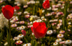 Red tulips. Royalty Free Stock Photography