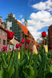 Red tulips in the center of the old city of Riga Royalty Free Stock Photography