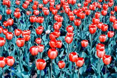 Red Tulips with Changed Hue Colors Stock Photo