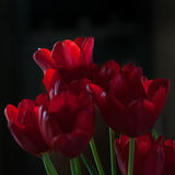 Red tulips in chiaroscuro. Red tulips bouquet in chiaroscuro Royalty Free Stock Image