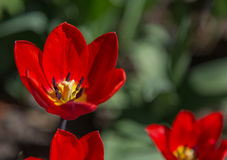 Red Tulips In City Park Royalty Free Stock Image