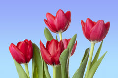 Red Tulips with clear blue sky Royalty Free Stock Photo
