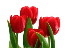 Red tulips close-up Stock Photo