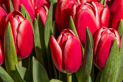 Red tulips close up. Close up photo of red tulips stock images