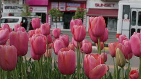Red tulips close up on a background of the urban landscape.  stock footage