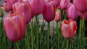 Red tulips close up on a background of the urban landscape.  stock video footage