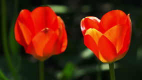 Red tulips close up. Footage taken in natural environment stock footage