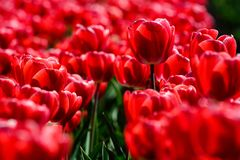 Red tulips close up in Holland gardens , spring time flowers. Keukenhof royalty free stock images