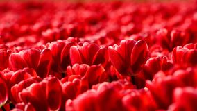 Red tulips close up in Holland gardens , spring time flowers. Keukenhof stock image
