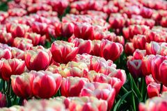 Red tulips close up in Holland , spring time flowers in Keukenhof. Beauty stock images