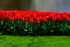 Red tulips close up in Holland , spring time flowers in Keukenhof. Beauty royalty free stock photo