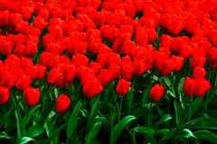 Red tulips close up in Holland , spring time flowers in Keukenhof. Beauty royalty free stock photos