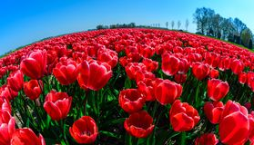Red tulips close up in Holland , spring time flowers in Keukenhof. Beauty royalty free stock photography