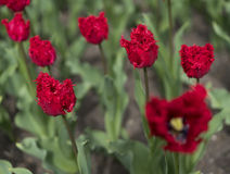 Red tulips. Close up view Royalty Free Stock Photography