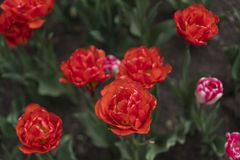 Red tulips. Close-up view Stock Photography