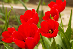 Red tulips close up Royalty Free Stock Image