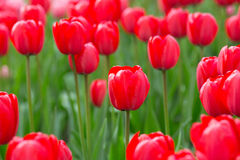 Red Tulips. Close view DOF Stock Images