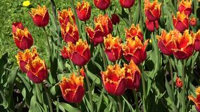 Red tulips closeup, sunny day stock video footage