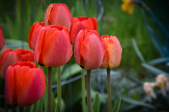 Red Tulips Cluster Royalty Free Stock Image