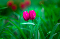 Red Tulips. Couple of a red tulips Royalty Free Stock Images