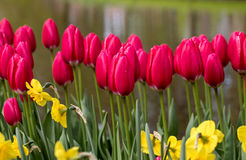 Red tulips and daffodils  blooming in a garden Stock Photos