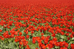 Red Tulips Dale. Field covered with a carpet of red tulips Stock Photos