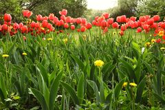 Red tulips and dandelions in a garden stock image