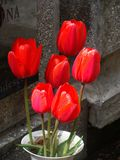 Red tulips. Deep red tulips in a cemetery Royalty Free Stock Photo