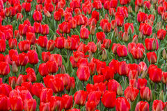 Red Tulips Detail Royalty Free Stock Photography