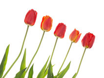 Red tulips on the diagonal Stock Image