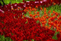 Red tulips of different shades stock image