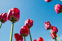 Red tulips directed to the blue sky.  Stock Image