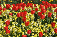 Red tulips display in st james park london royalty free stock photo