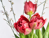 Red tulips, double spring flowers in vase, detail. Royalty Free Stock Photography