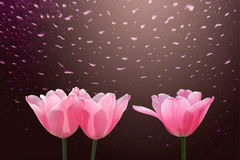 Red tulips with drop in rain. On dark background royalty free stock image