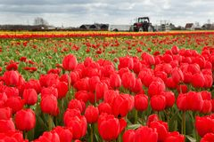 Red tulips in Dutch countryside Royalty Free Stock Photography