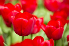 Red tulips. Dutch cultivated red tulips, closeup image Royalty Free Stock Photos