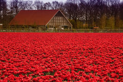 Red tulips everywhere Royalty Free Stock Images