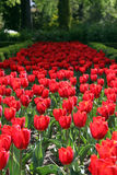 Red tulips everywhere Royalty Free Stock Image
