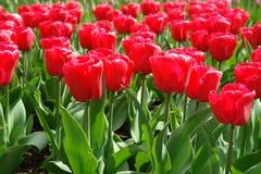 Red tulips field. In Keukenhof, Netherlands Royalty Free Stock Photos