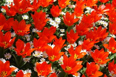 Red tulips field. Natural backgrounds: red tulips field Royalty Free Stock Photography