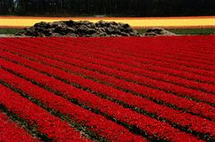 Red tulips field. In Keukenhof, Netherlands royalty free stock photos