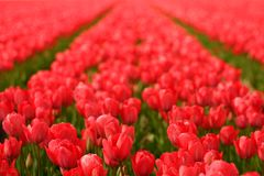 Red tulips in a field Royalty Free Stock Photo