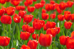 Red tulips field Stock Images