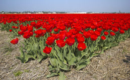 Red Tulips in a Field Stock Image