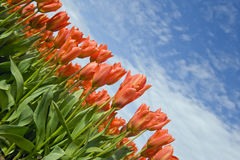 Red tulips field Stock Photo