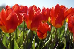 Red tulips in the field Stock Photo